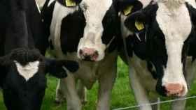 vacas frisonas