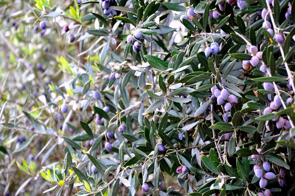 aceite-oliva-virgen-extra-01