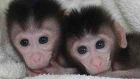germline monkeys