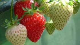cultivar-fresas-00