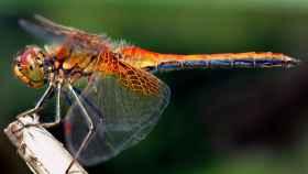El cerebro de las libélulas, ¿la clave de los sensores del futuro?