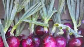 cultivar-cebollas-00
