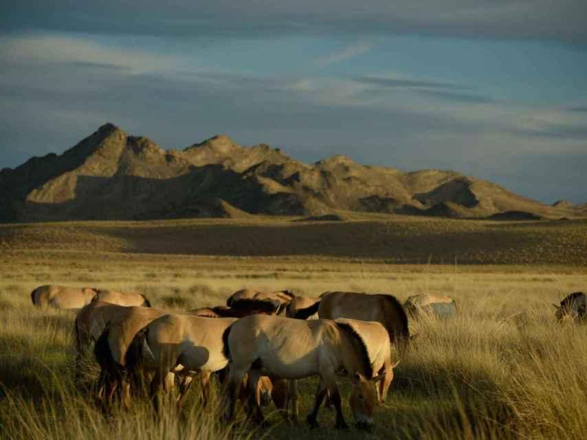 Un grupo de caballos Przewalski reintroducidos en Khomiin Tal, Mongolia.
