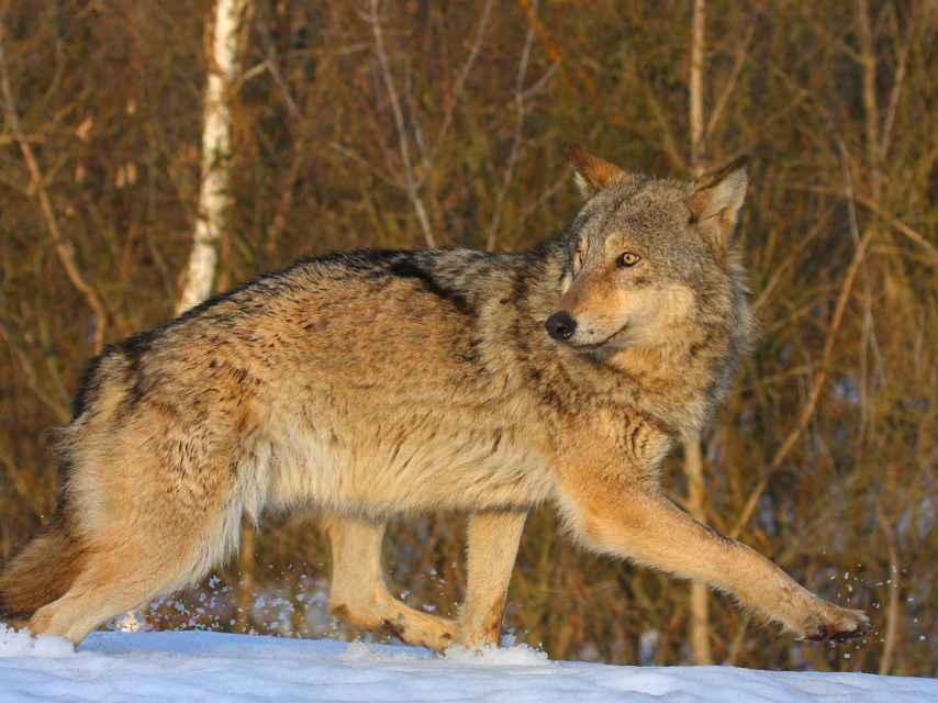 La población de lobos se ha disparado en la zona