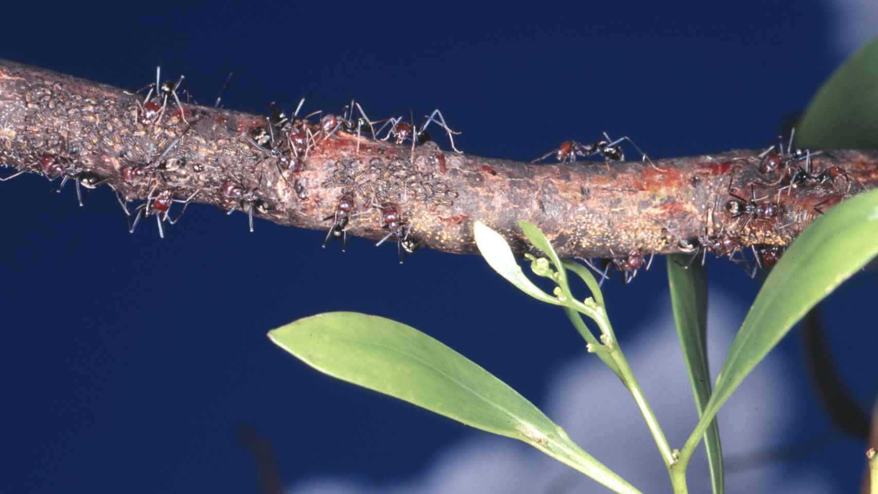 La búsqueda de alimento condiciona las redes de las hormigas.