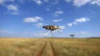 tsetse-serengeti-wesleyrosemblum