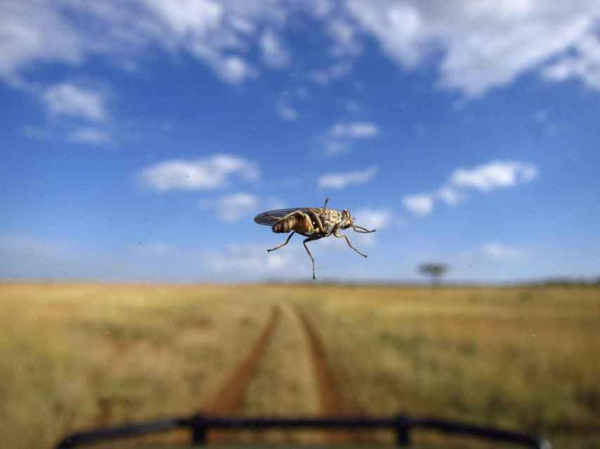 Una mosca tsé-tsé tras el parabrisas de un coche en el Serengueti.
