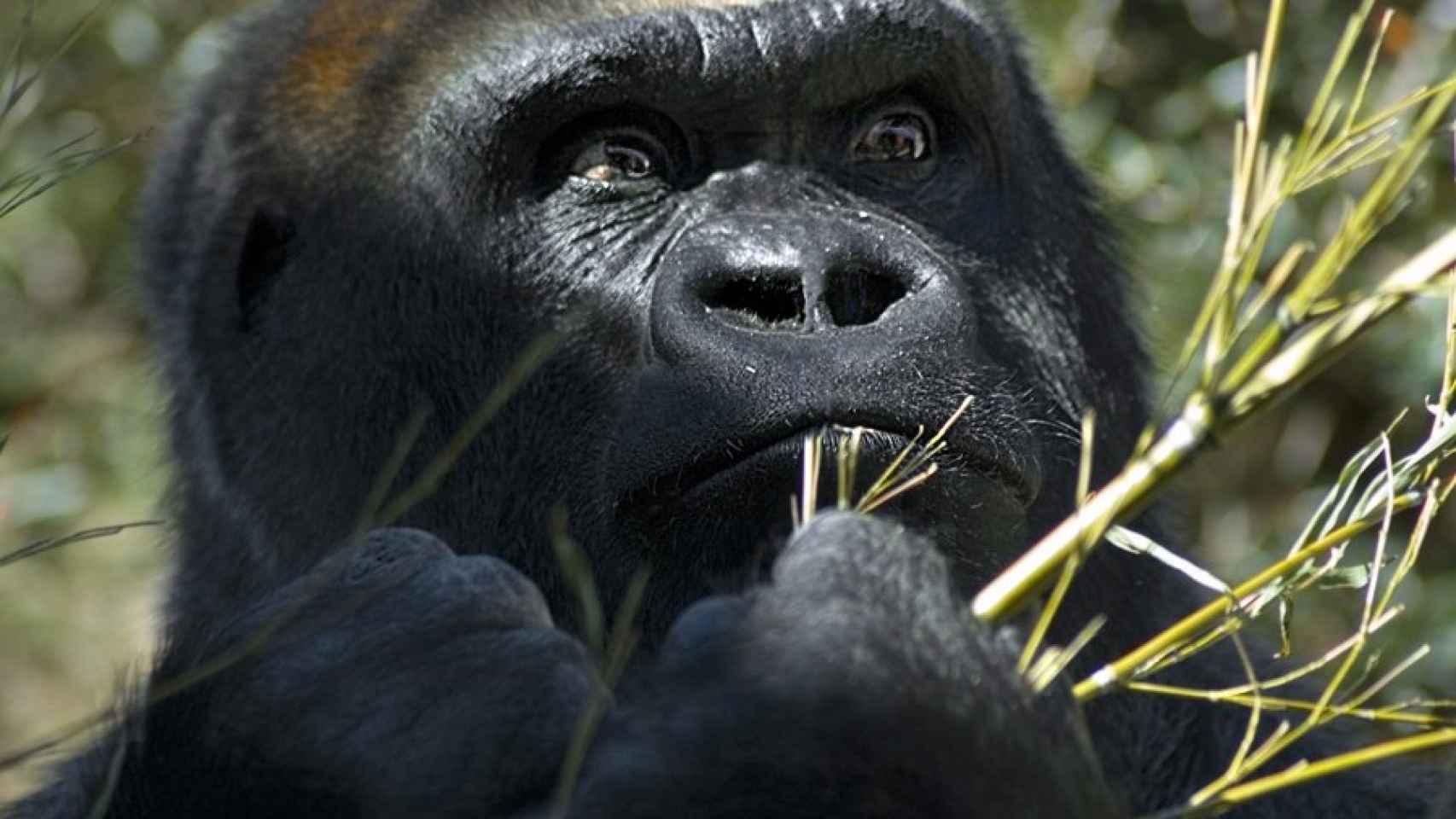 En los gorilas, el macho alfa es el líder incuestionable del grupo.