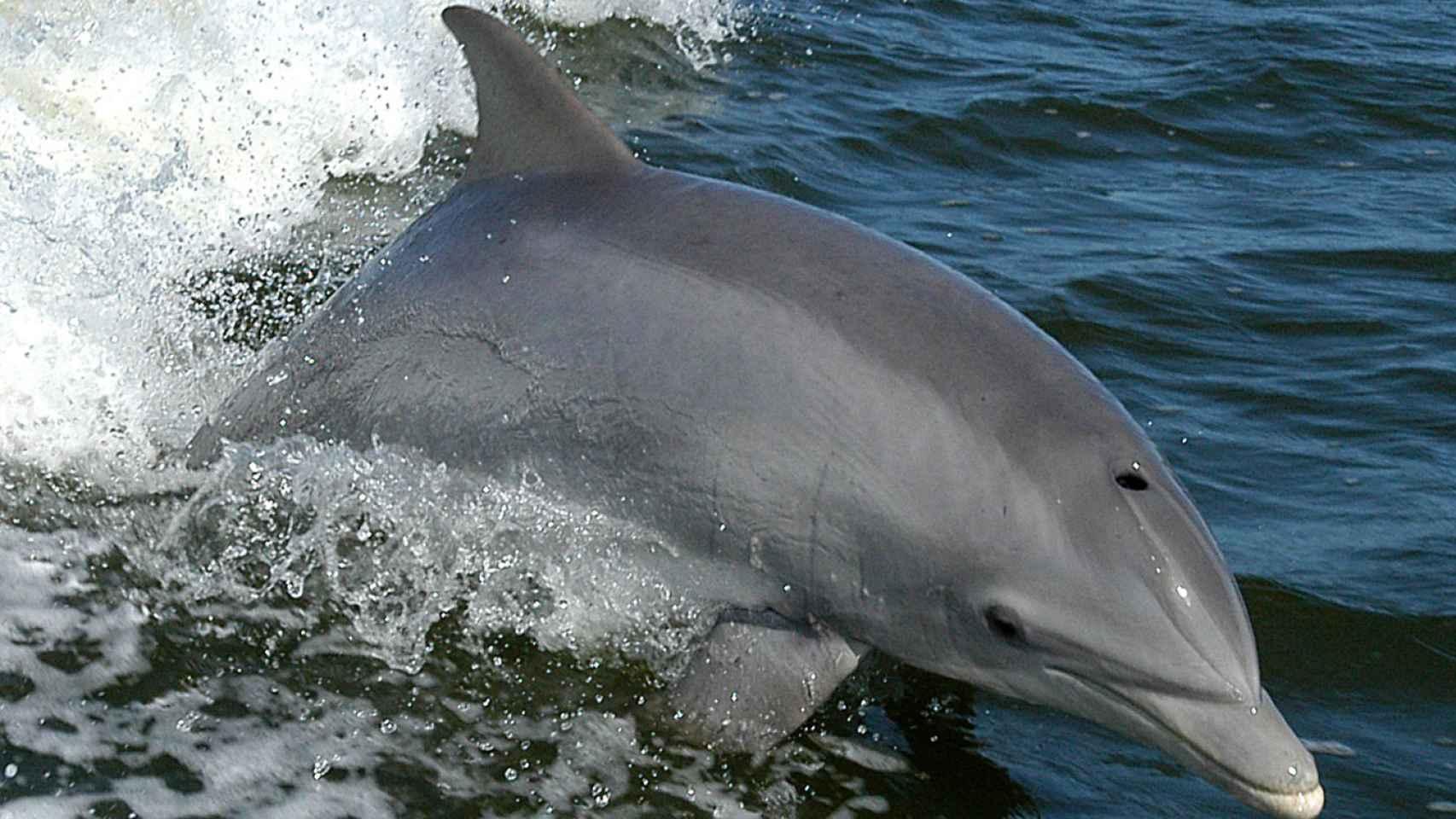 Los delfines reparten el liderazgo cuando cazan en grupo.