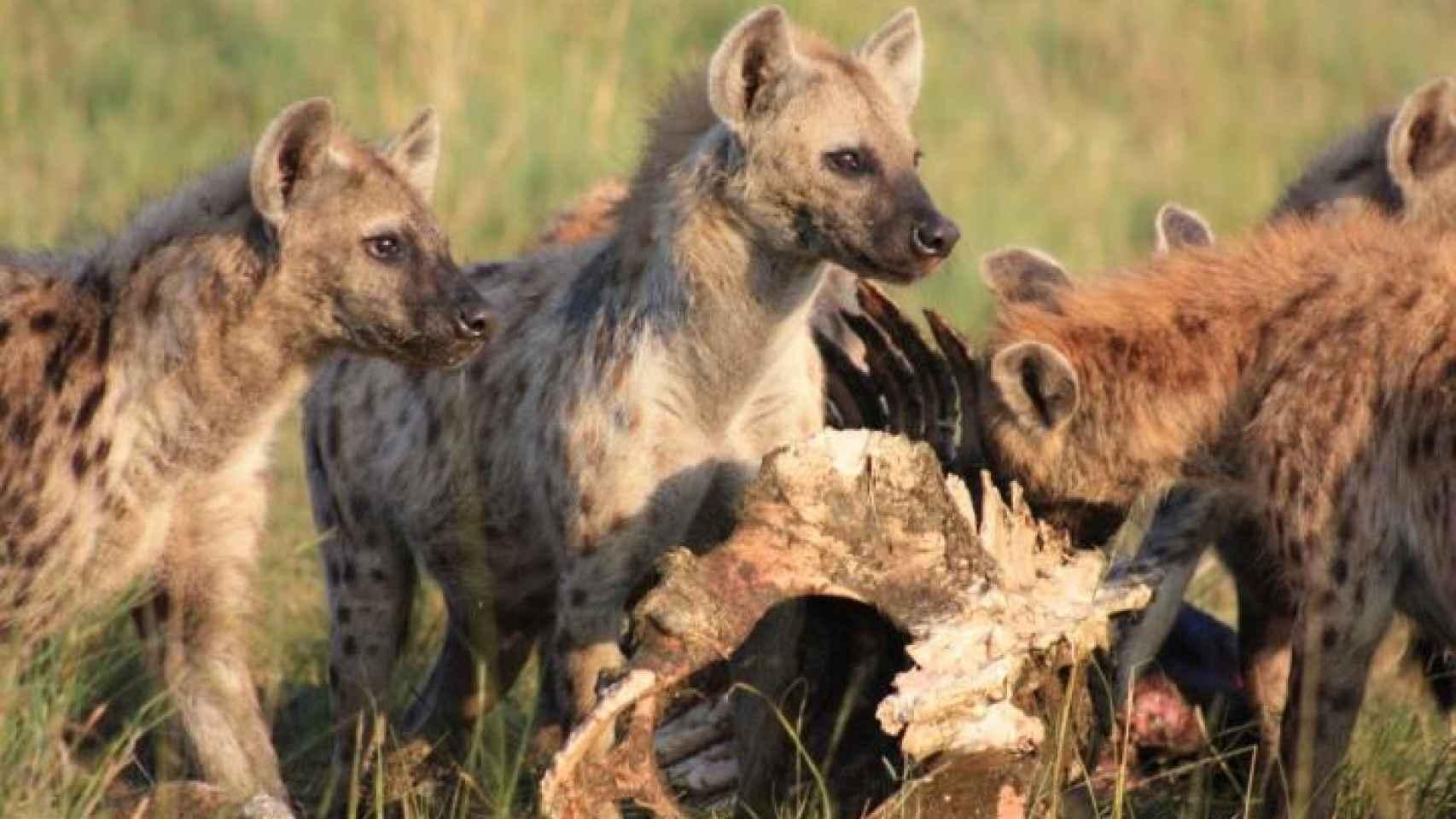 Las hienas heredan el poder, de madres a hijas.