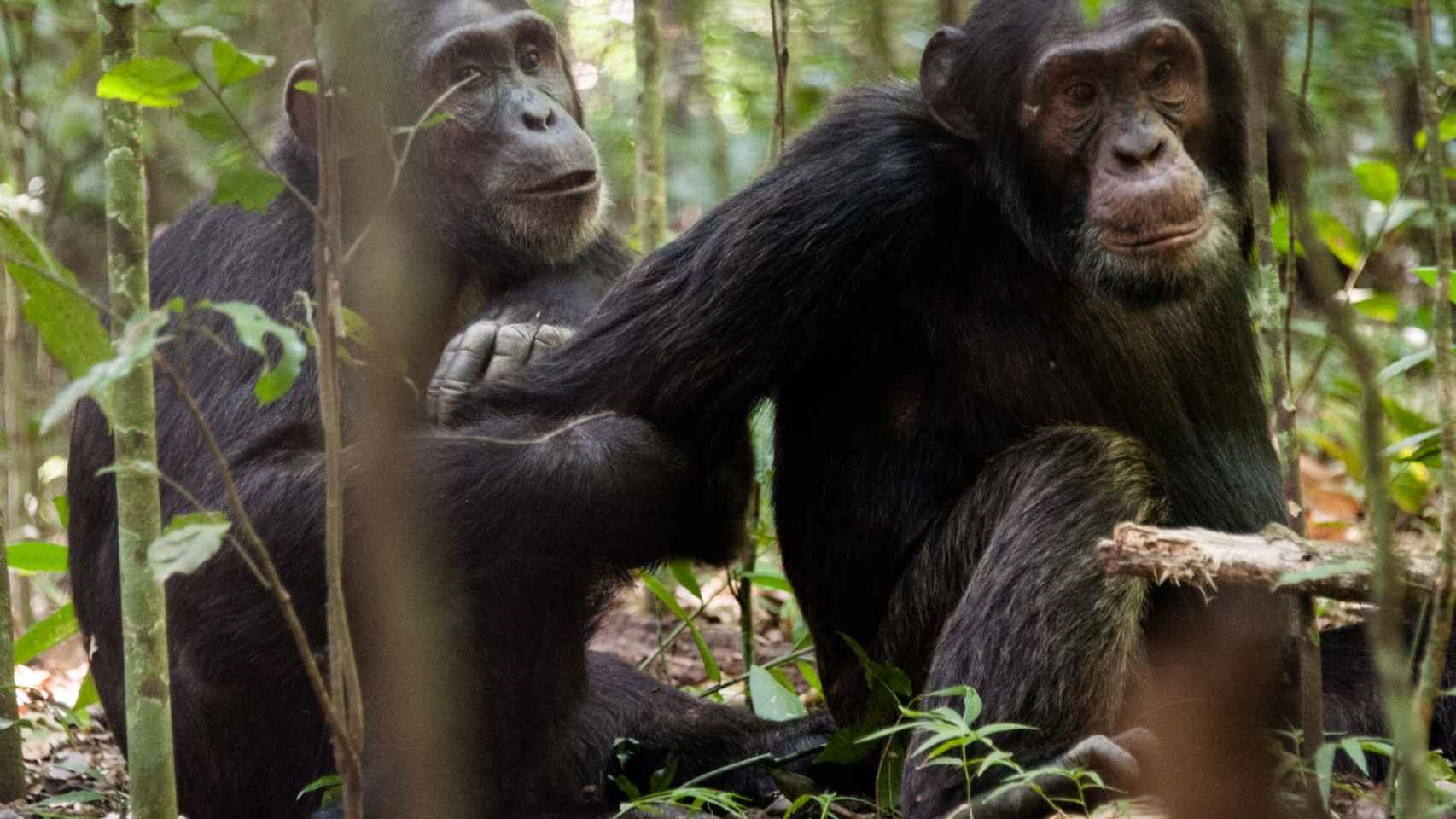 Los chimpancés forman coaliciones con un macho alfa.
