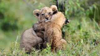 Unos cachorros de león jugando.