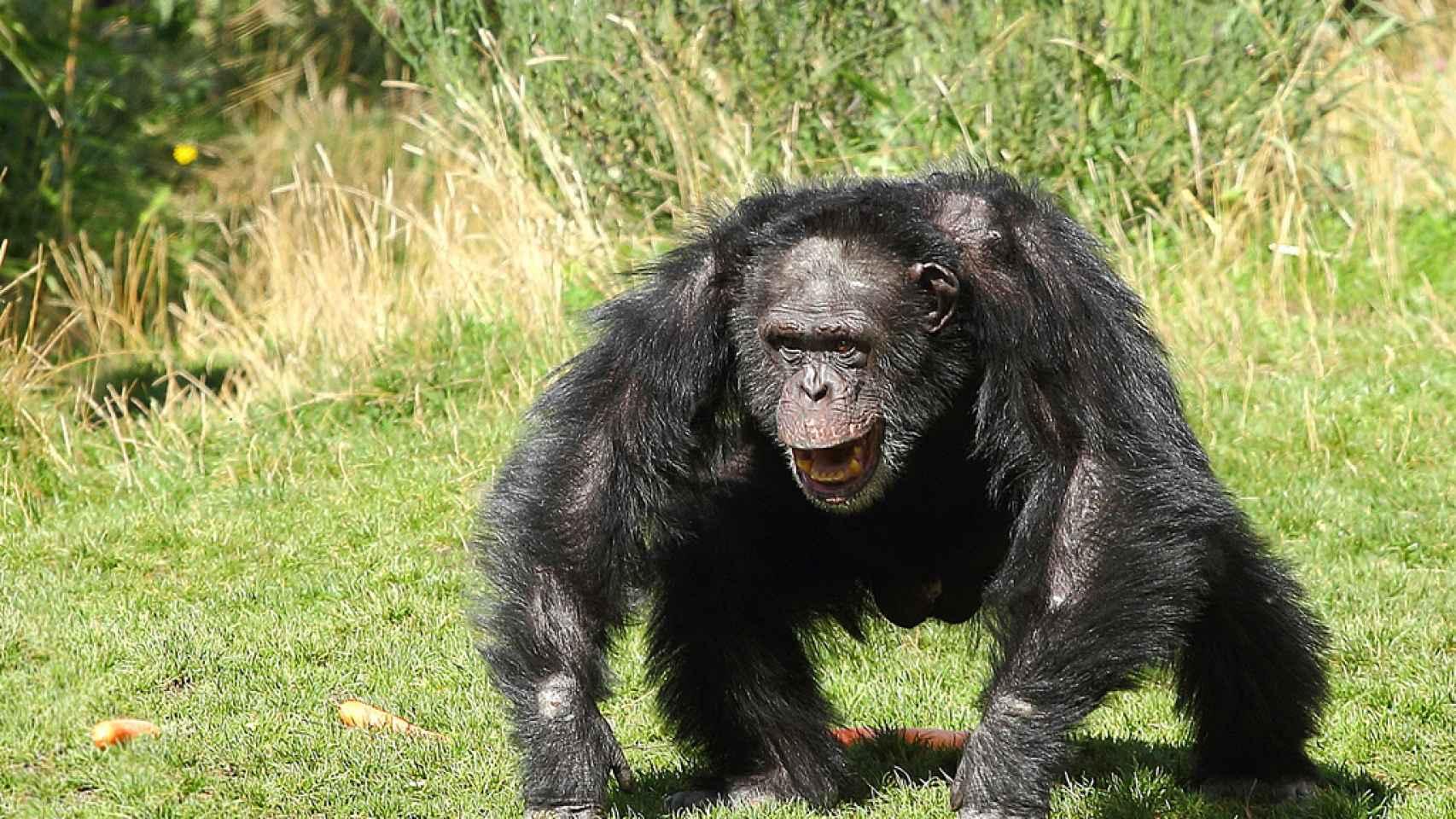 Un chimpancé enfadado.