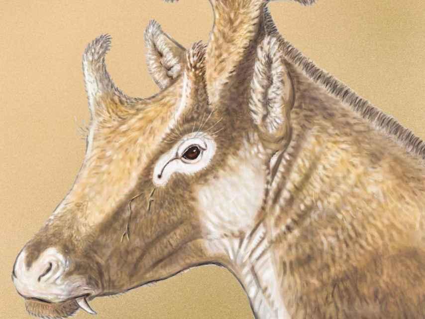 Ilustración del X. amidalae.