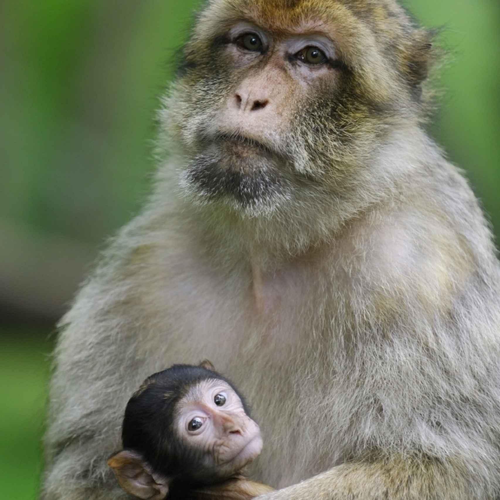 Una hembra de macaco con su bebé.