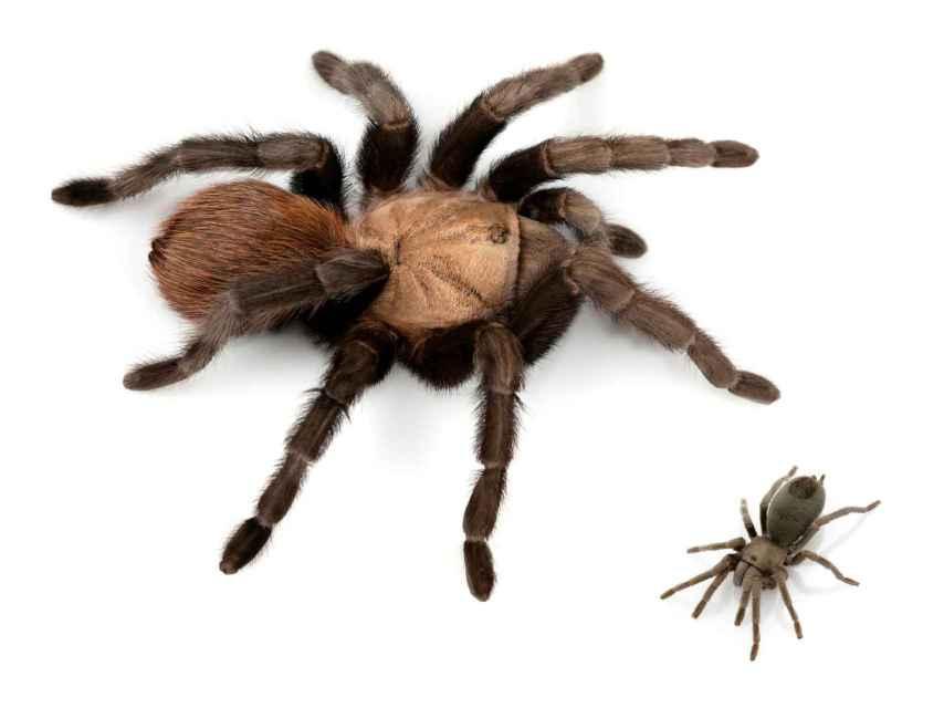 Comparación entre especies de tarántulas (Aphonopelma anax y Aphonopelma paloma) de EEUU