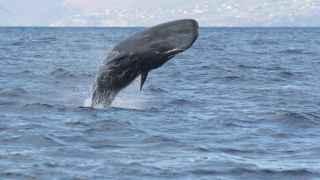 Imagen de uno de los cachalotes caribeños investigados.