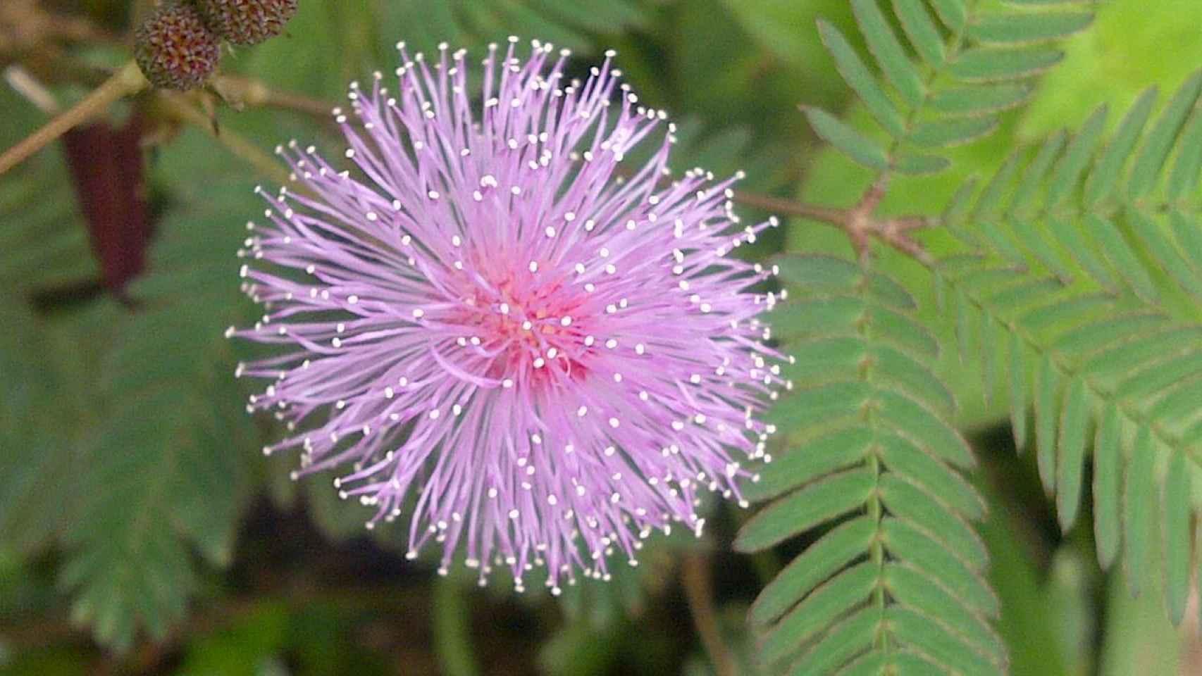 Así es una Mimosa pudica.