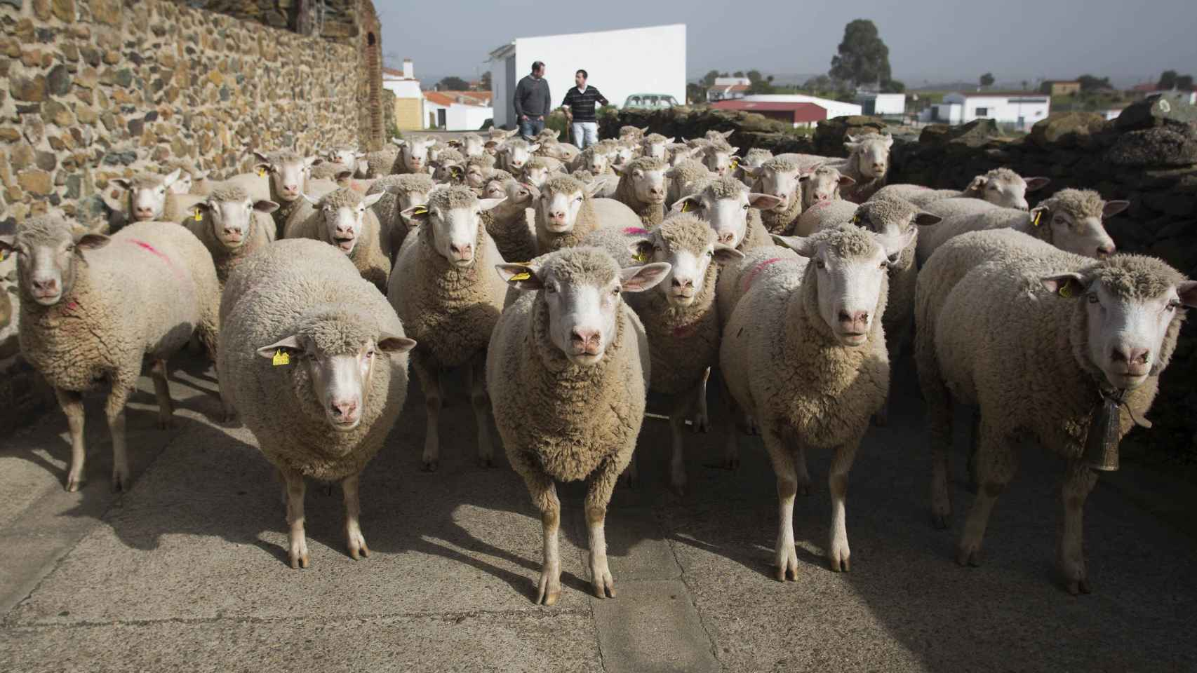 Las ovejas de El Madroño