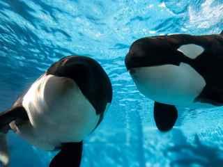 Orcas en cautividad.