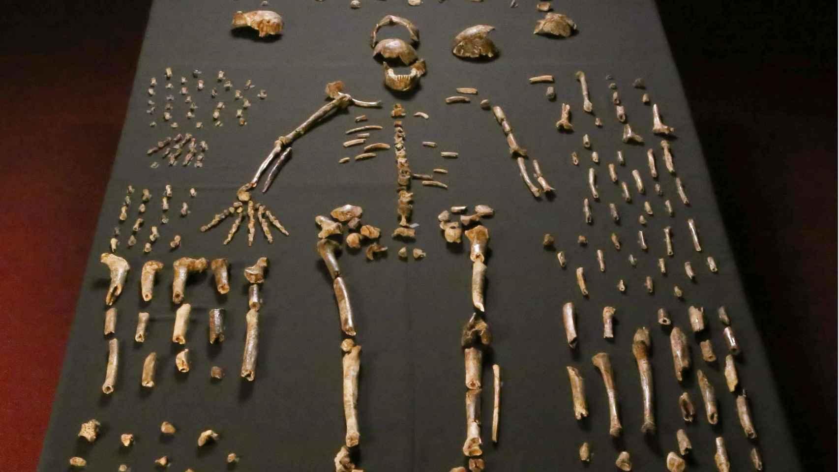 Esqueleto de Homo naledi.