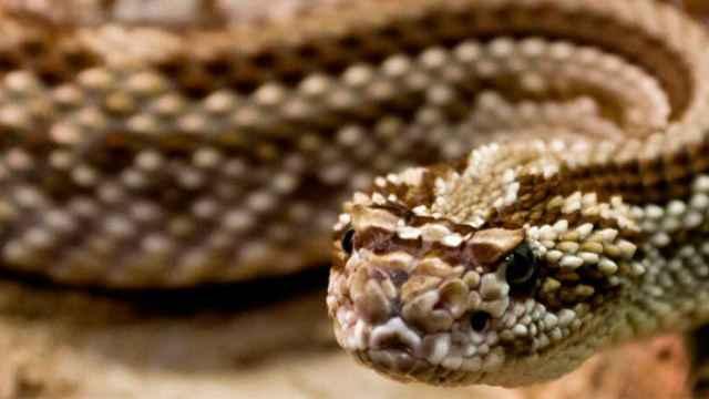 vibora-serpiente