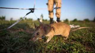 Ratas 'Nikita' tras activar un circuito cerebral