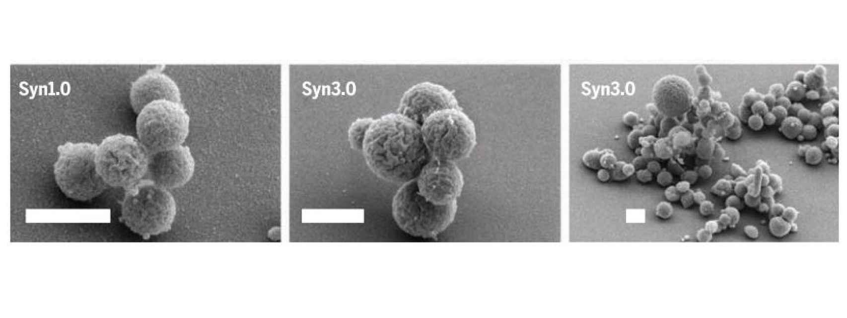 A la izquierda, la primera bacteria artificial. Centro y derecha, la actual versión 3.0