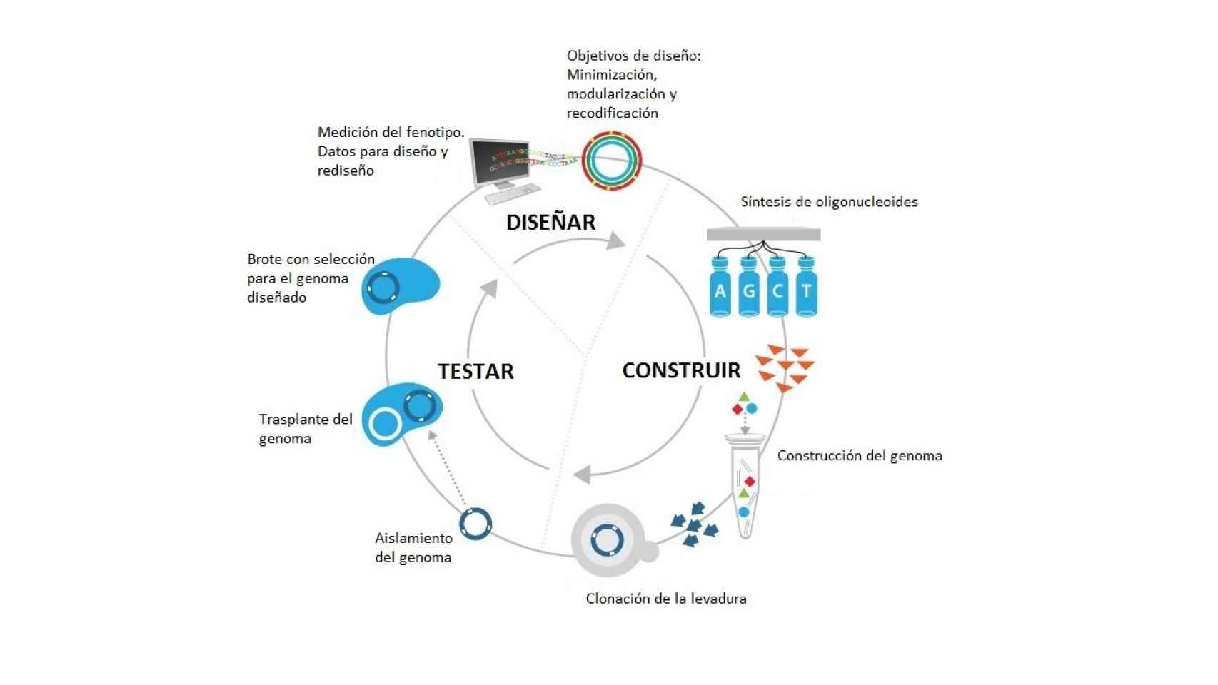 Ciclo de desarrollo de la bacteria sintética.