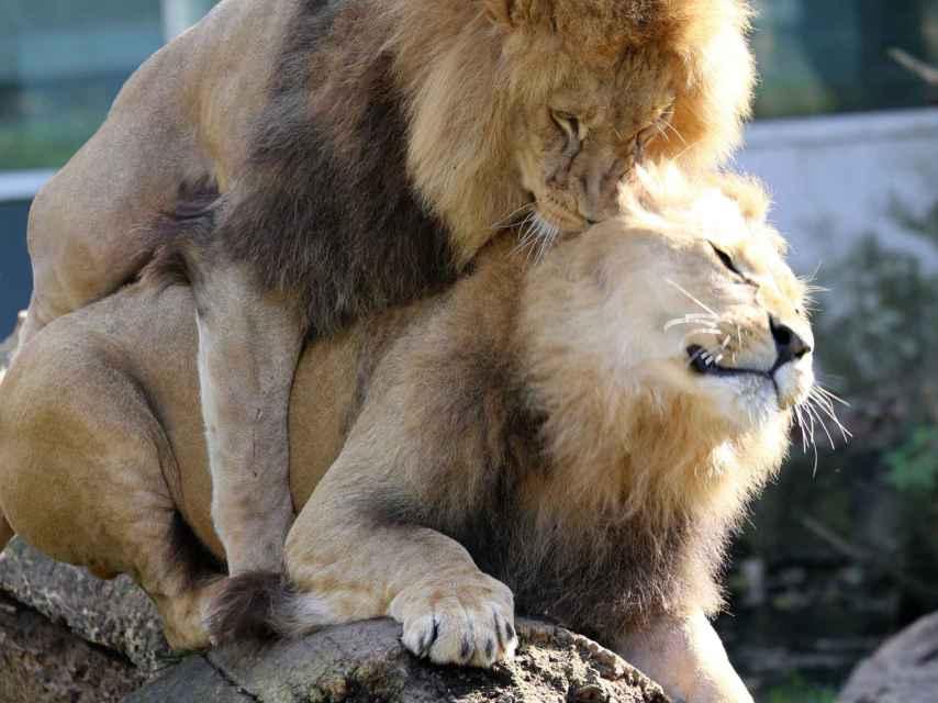 Dos leones macho en el zoo Hellabrunn, en Múnich.