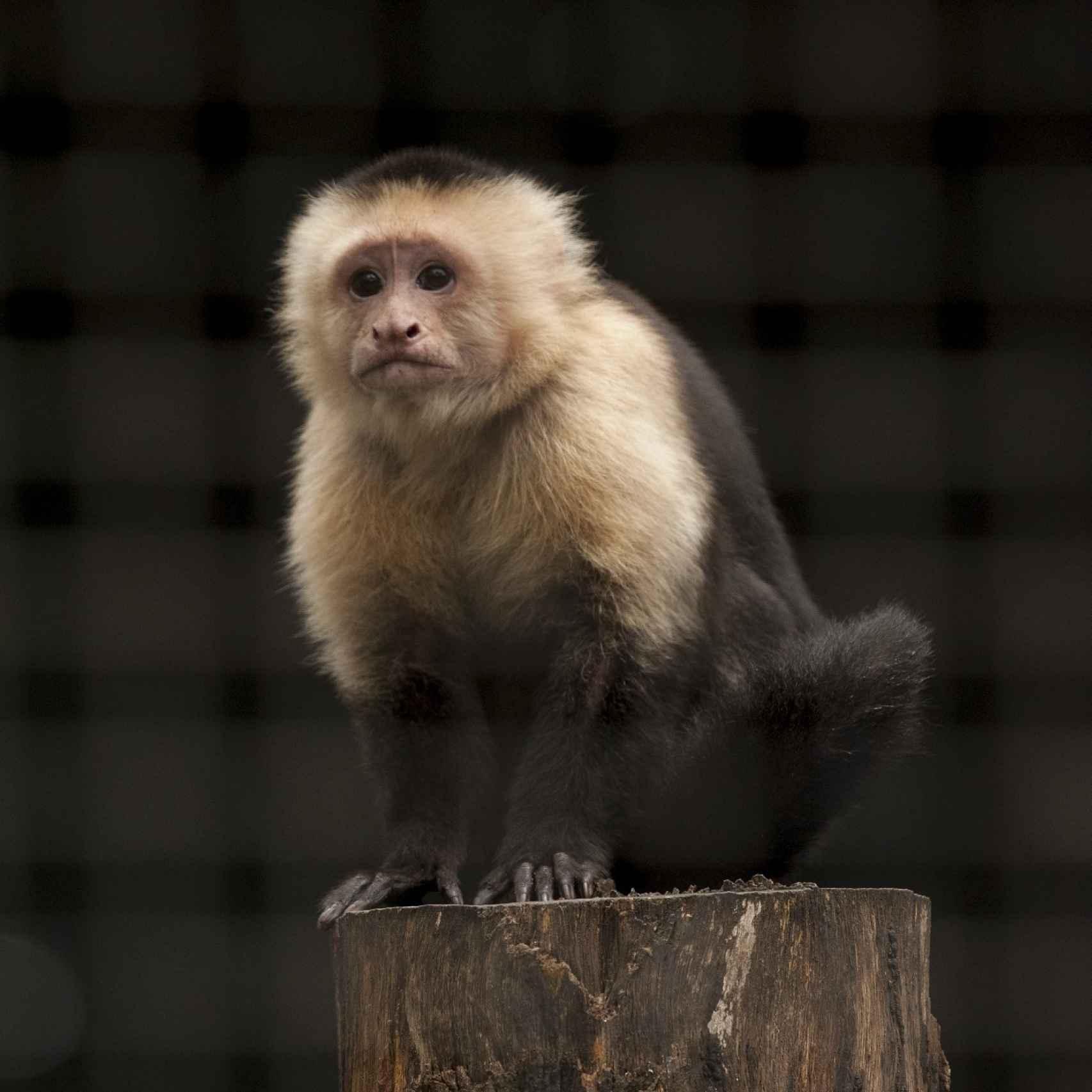 Un ejemplar de mono capuchino, pariente contemporáneo de los platirrinos.