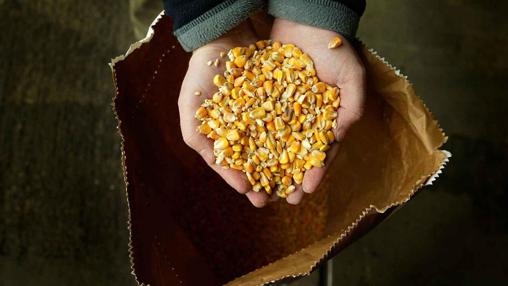 Una variedad de maíz manipulada genéticamente