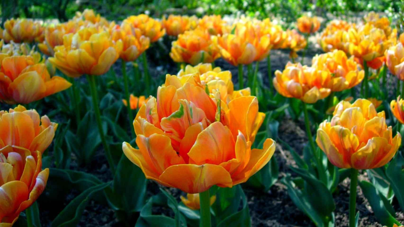 Tulipanes. /