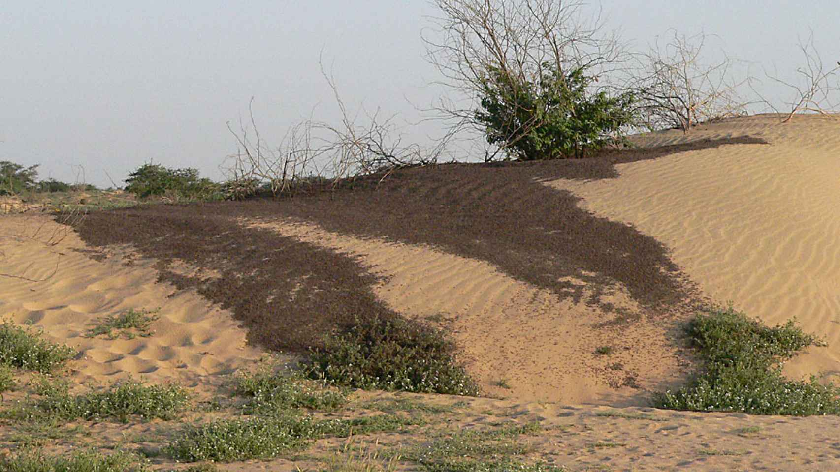 Langostas jóvenes en bandas compactas antes de desarrollar alas, en Sudán