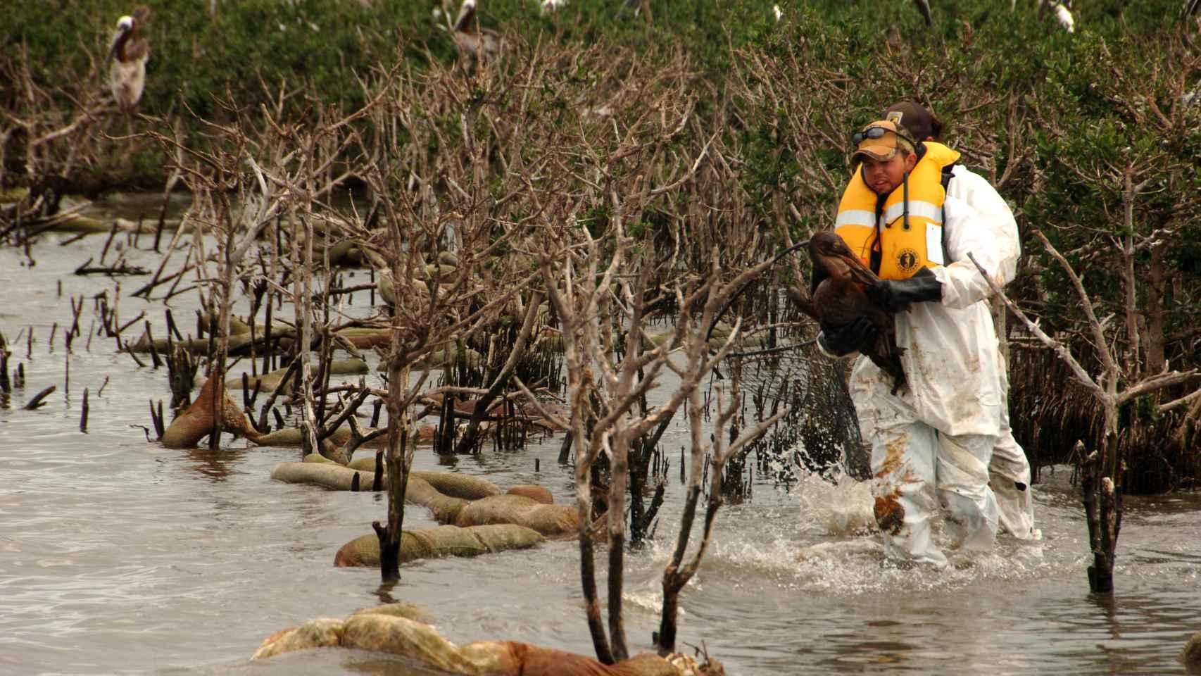 Miembro del US Fish and Wildlife lleva un pelícano con chapapote en Luisiana.