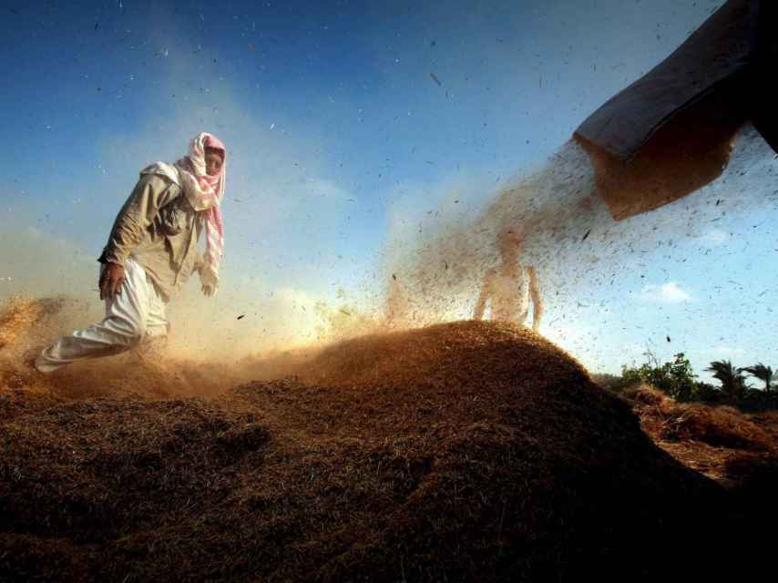 La roya del trigo supone una seria amenaza para la alimentación mundial.