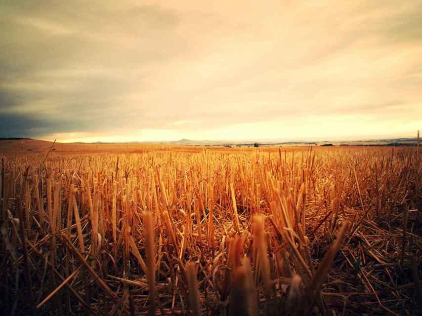 Campo de trigo en Castilla.