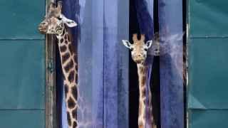 ¡El loco mundo de las jirafas!