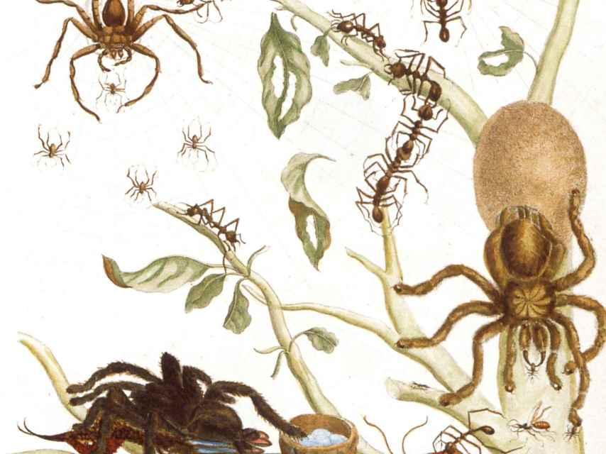 Arañas, hormigas y colibrí en una rama de guayaba, un dibujo de Maria Sibylla.