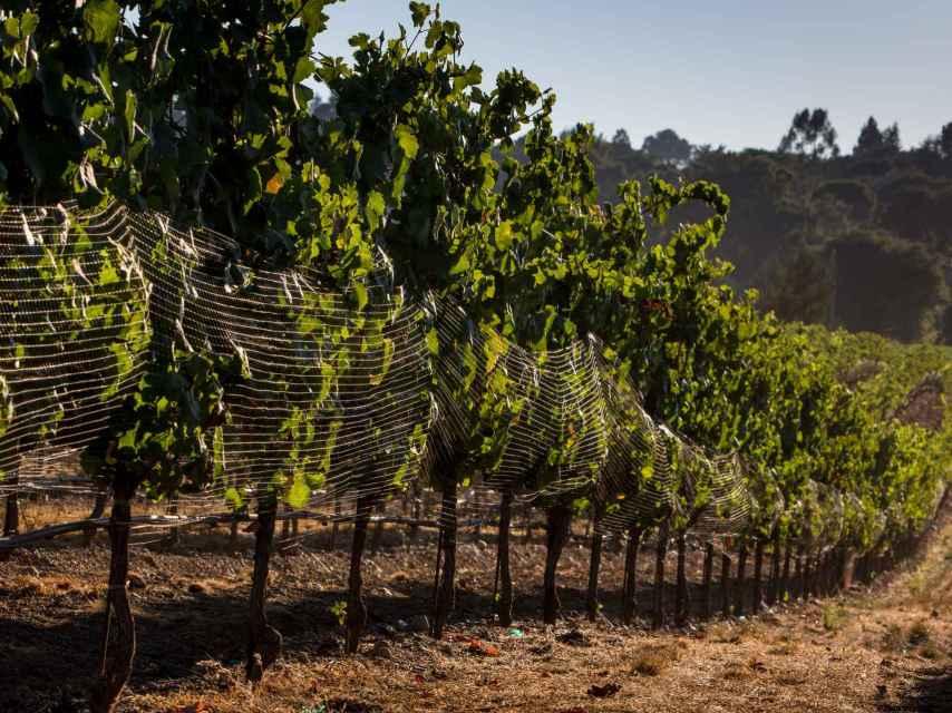Un viñedo biodinámico al sur de Francia.