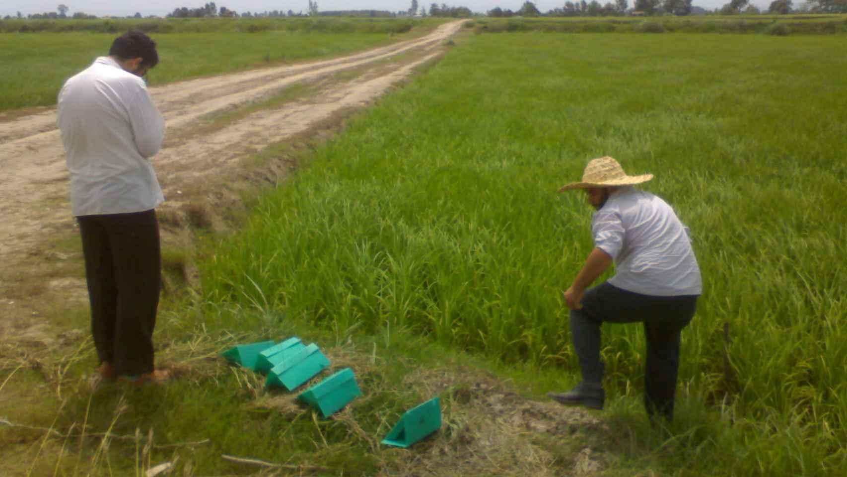 Agricultores iraníes colocando trampas de feromonas en un arrozal.