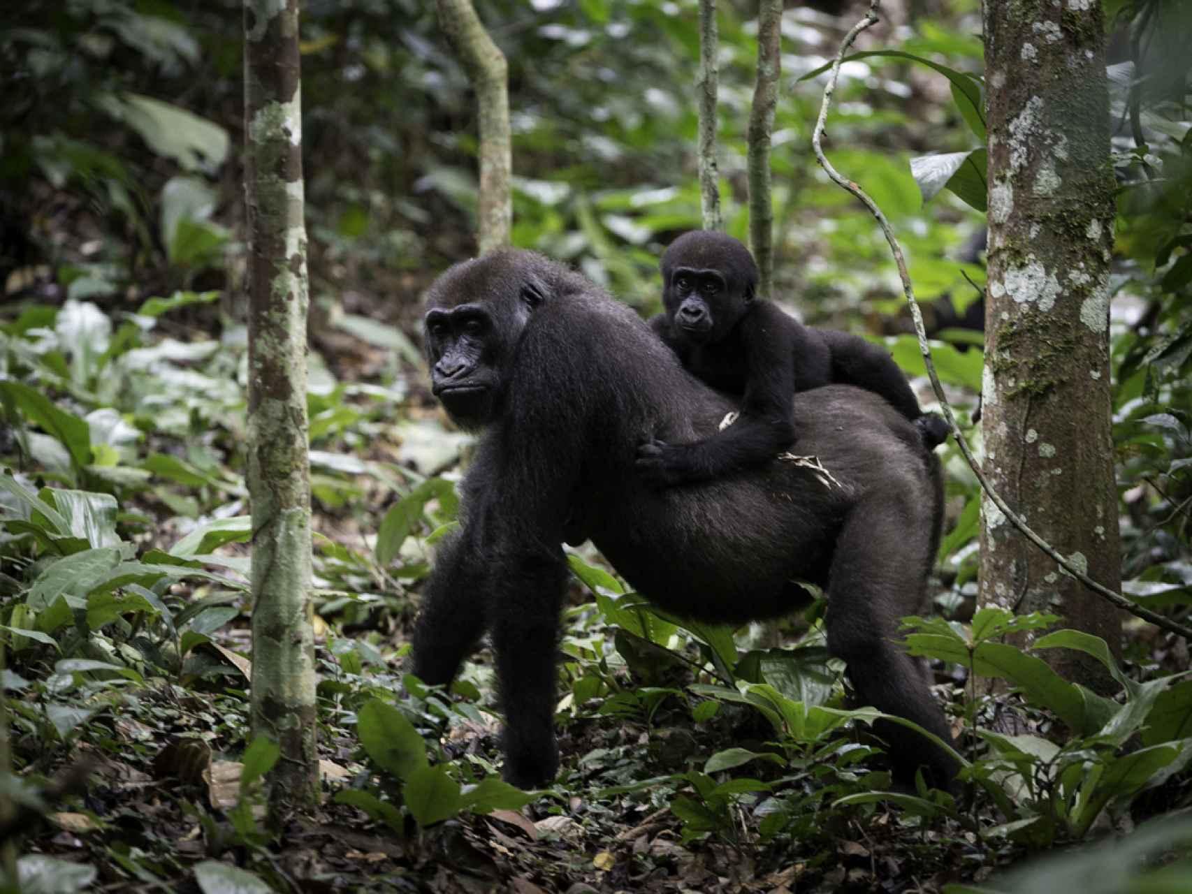 Una cría de gorila a lomos de su progenitor.