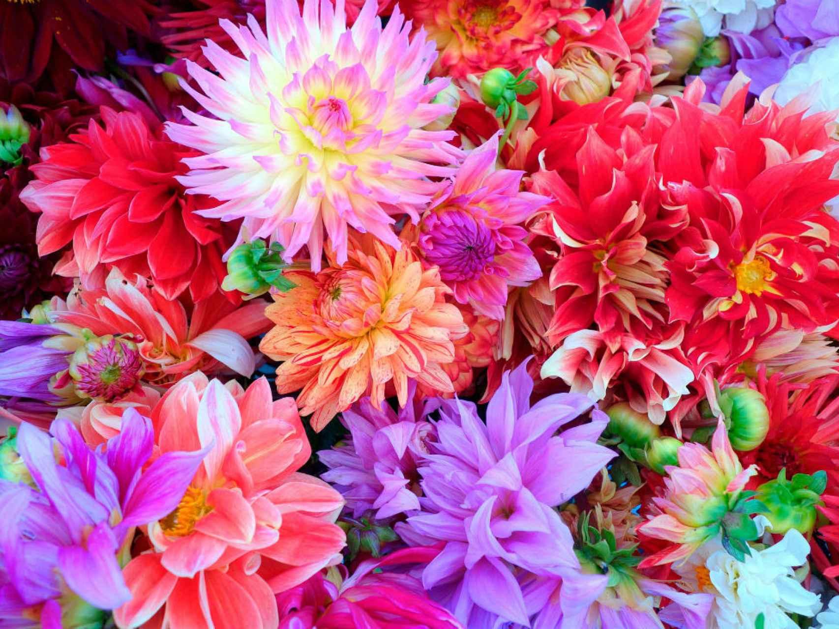 Dalias de diferentes variedades florecen hasta otoño. / Los Peñotes