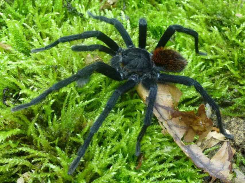 Macho de la nueva especie y género de tarántula, Kankuamo marquezi.