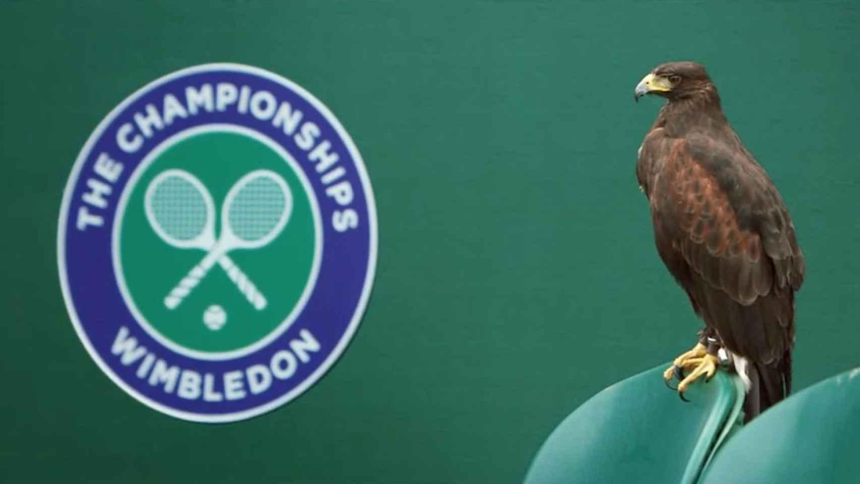 El halcón que protege Wimbledon de las palomas.
