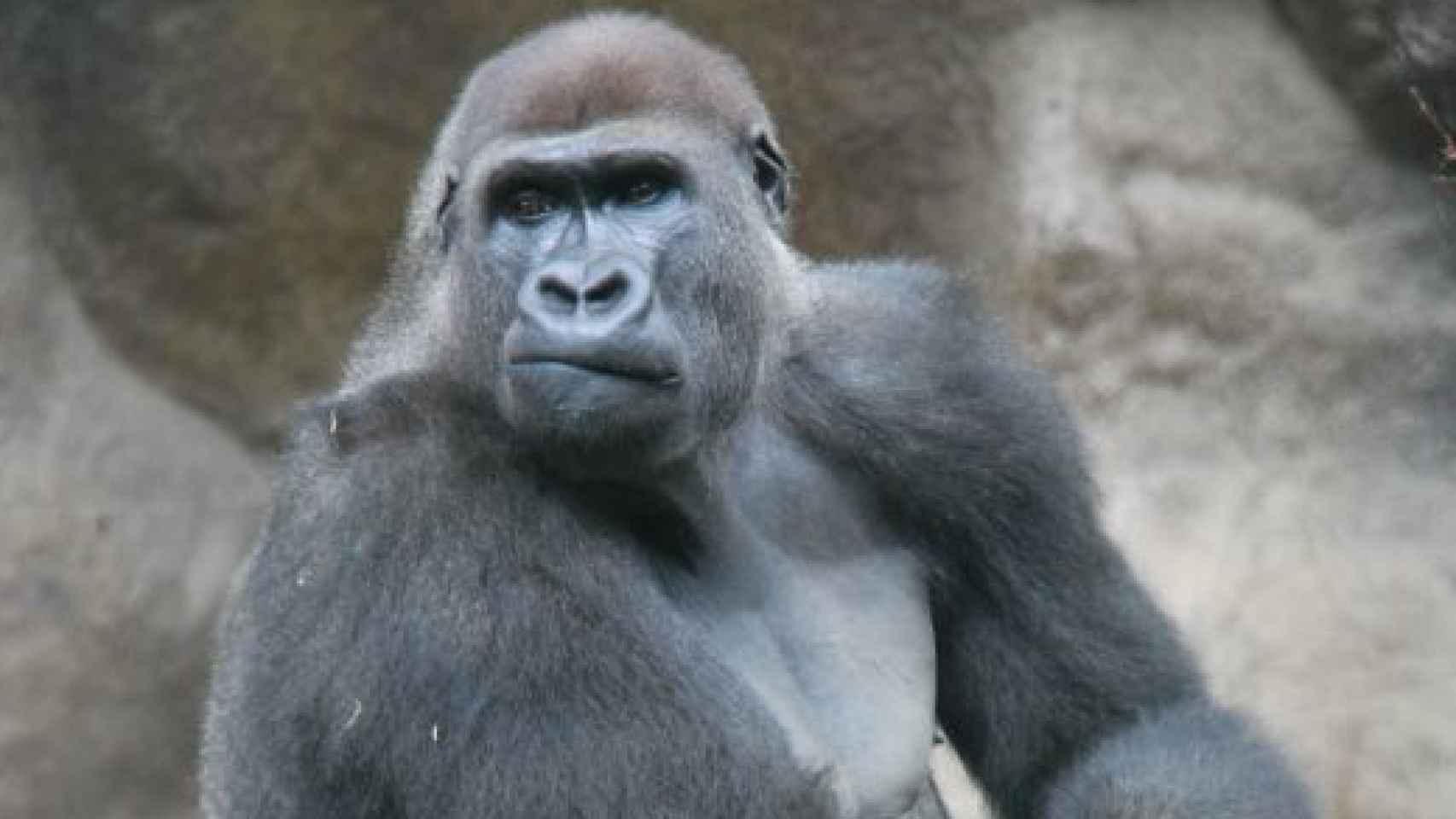 Uno de los gorilas del zoológico.
