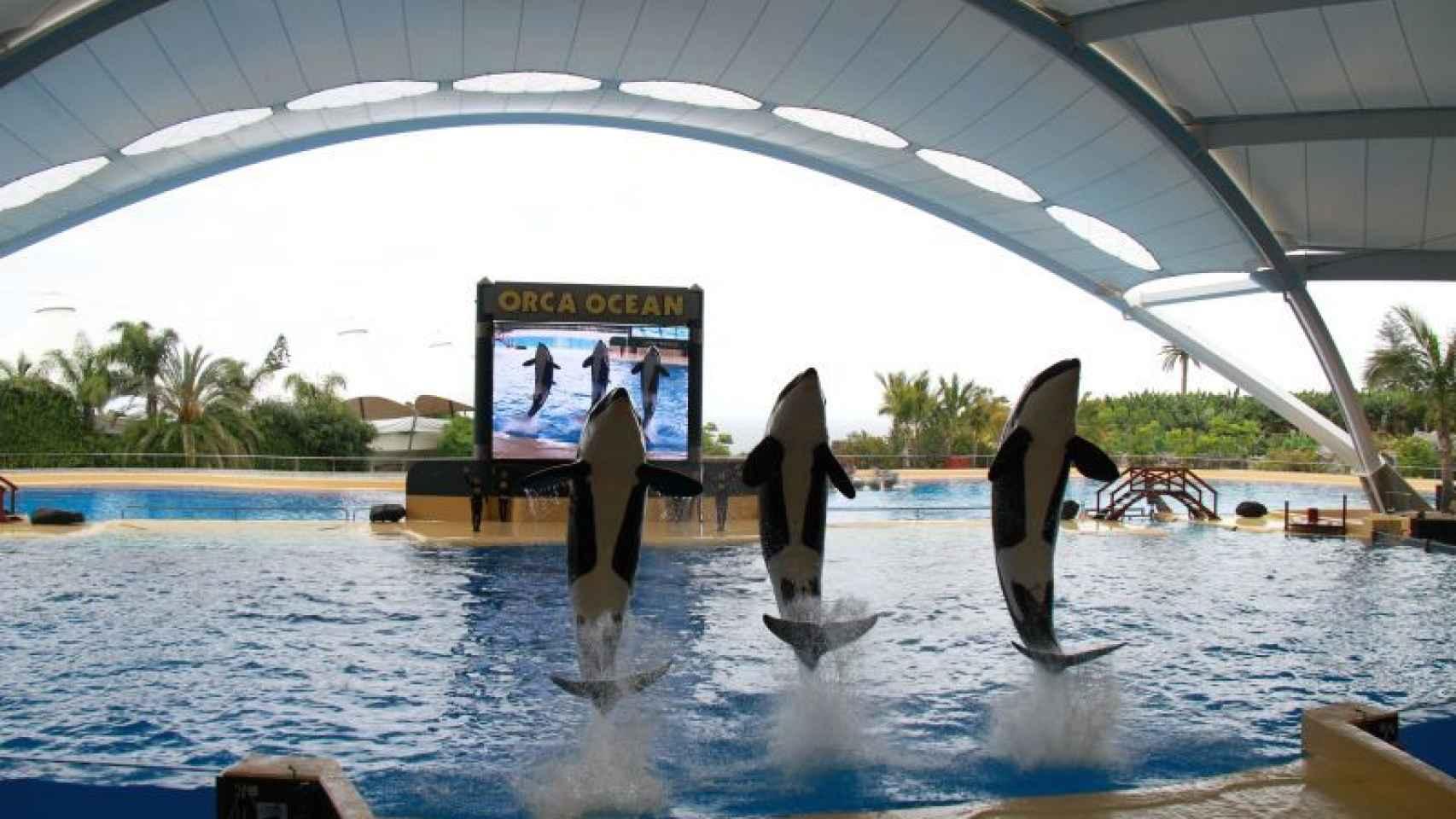 Tres de las seis orcas de Loro Parque en acción.
