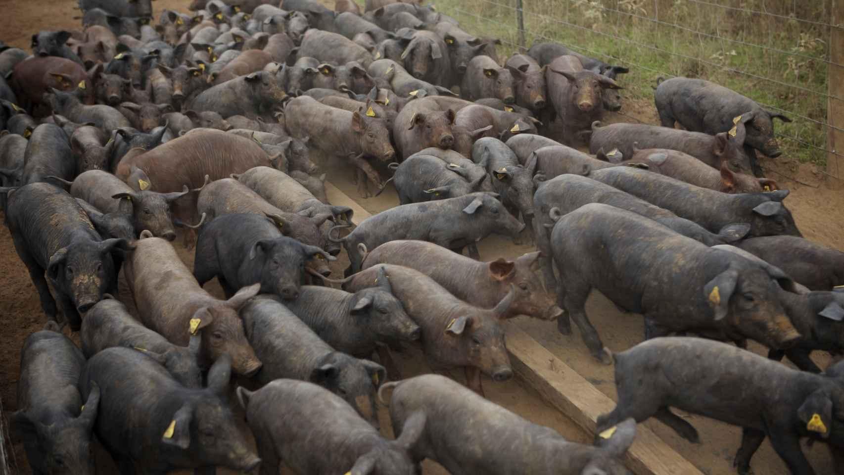 Transportar a cada cerdo —en total eran 150— les costó 3.500 dólares.