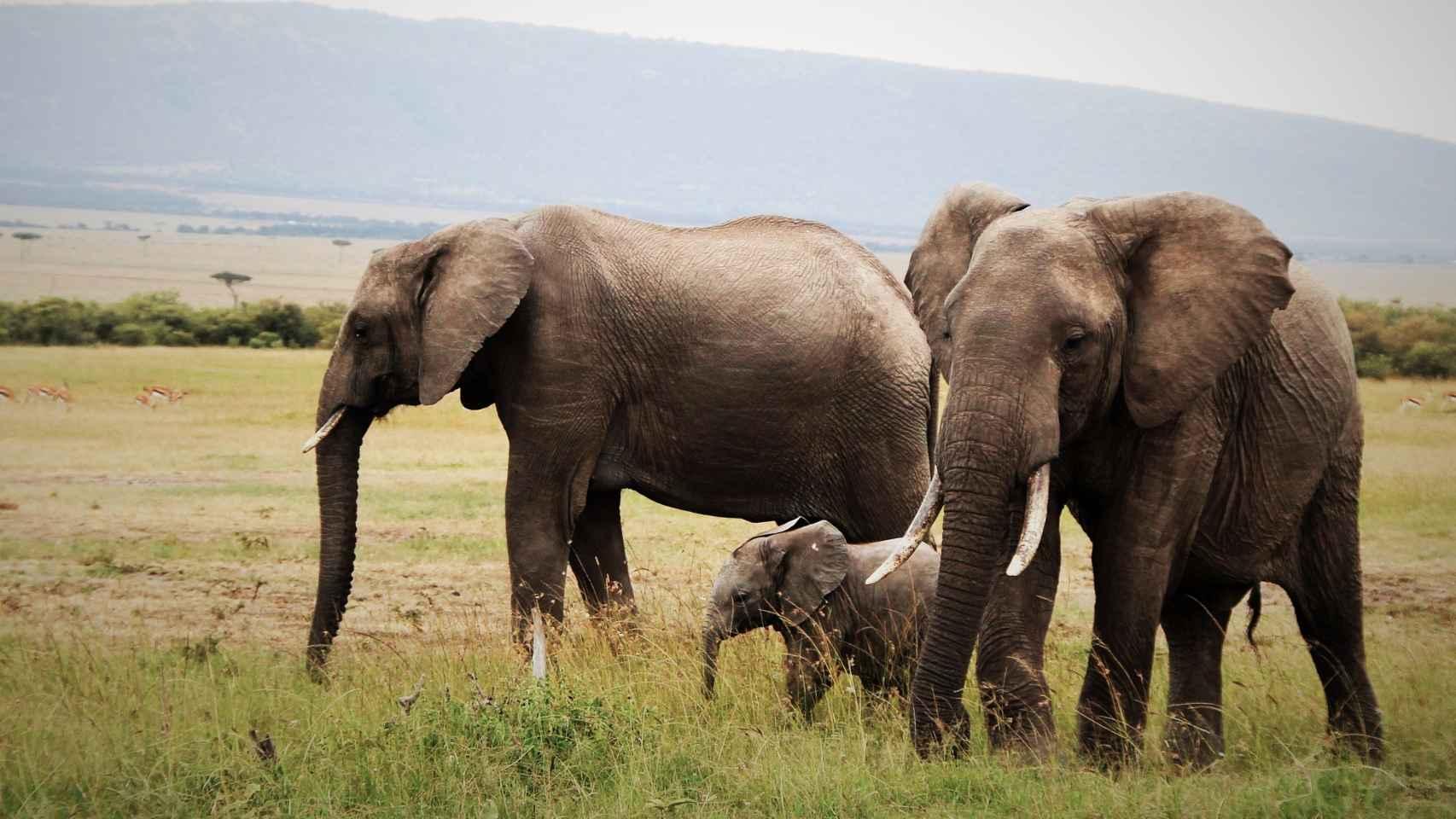 Una familia de elefantes camina por las llanuras de Mara.
