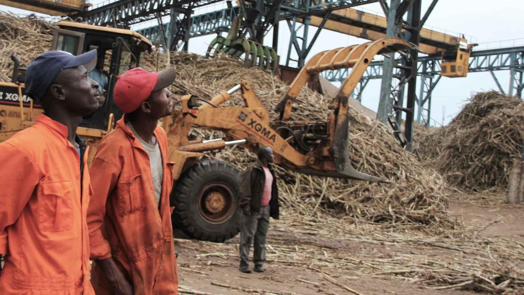 Operarios de Transmara Sugar Company junto al cargamento de cañas de azúcar.